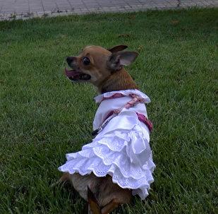 Четвероногая модница Дана научилась беречь свой наряд