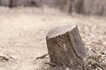Kəsilmiş ağac kötüyü, arxiv şəkli