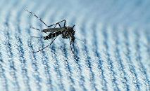 Комар-переносчик Денге, фото из архива