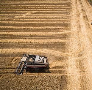 Уборка пшеницы на полях, фото из архива