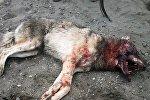 Kəndlilər tərəfindən öldürülmüş canavar
