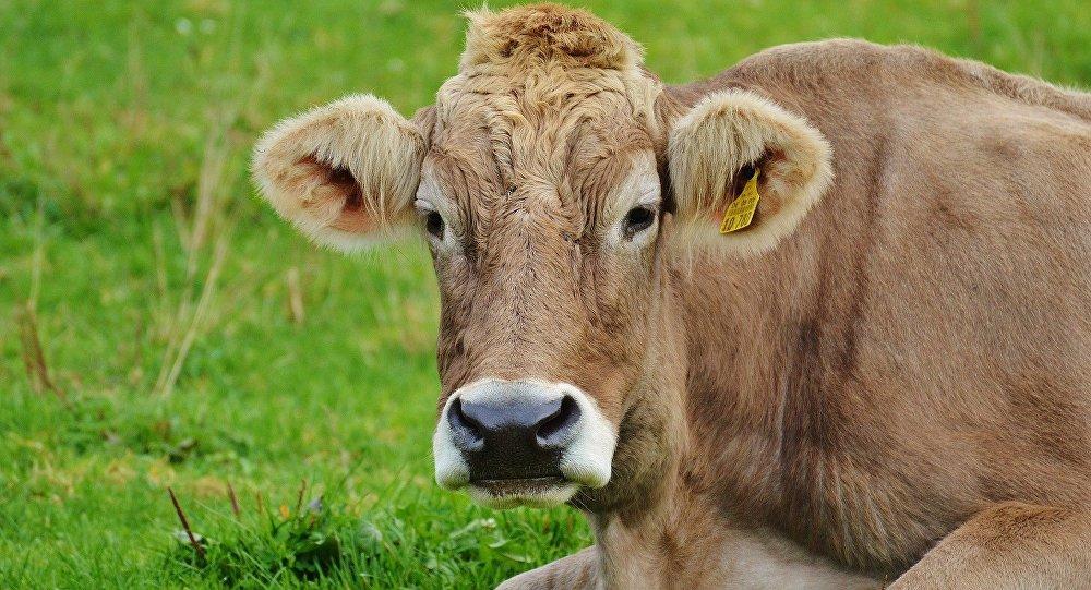Корова, фото из архива