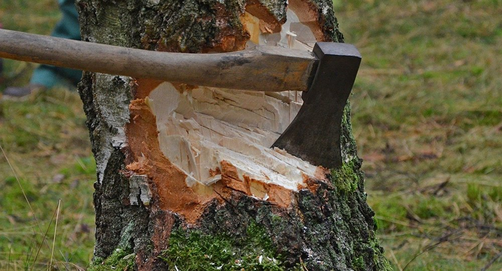 Подрубленное дерево, архивное фото