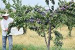 Meyvə yığımı
