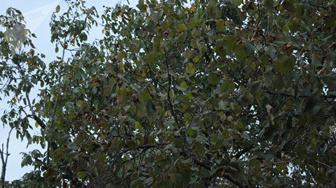 Əksər ağaclar susuzluqdan quruyub