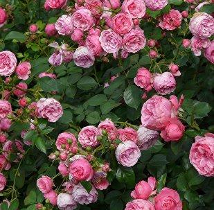 Розы, фото из архива