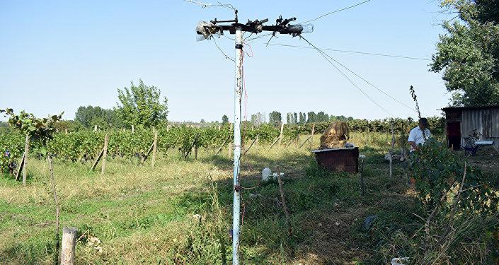 Изобретение садовода Гурбанова