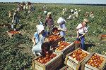 Сбор урожая томатов в колхозе, 1984 год