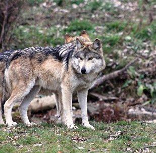 Волки, фото из архива