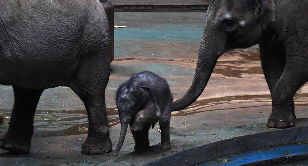 Слониха убила владельца и попробовала спрятать его тело (2)