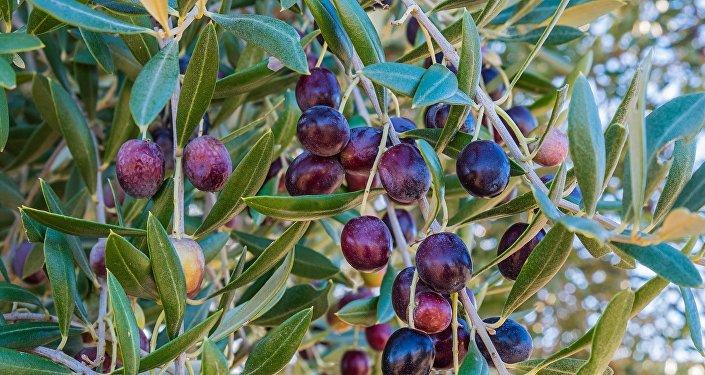 Оливковое дерево, фото из архива