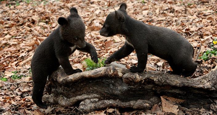 Медвежата, фото из архива