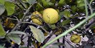 Özbək limonu