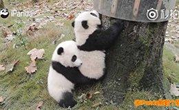 Панды помогают друг другу забраться на дерево