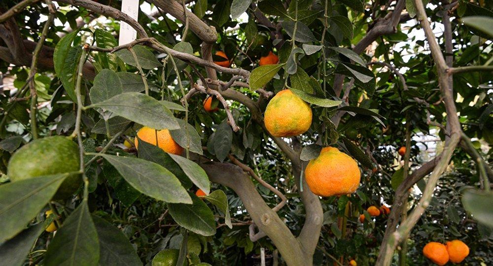Цитрусовые деревья, фото из архива