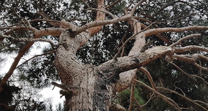 İDİF MTK tikinti şirkəti tərəfindən kəsilən ağaclar