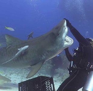 Дайверы играют с тигровой акулойм