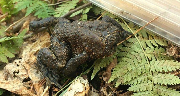 Безголовая жаба, обнаруженная в лесах Коннектикута