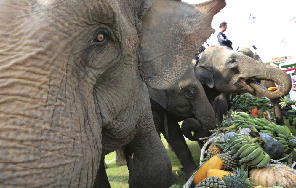 Слоны едят фрукты перед началом слоновьего поло в Банкоке, Таиланд