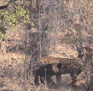 Разъяренный тигр напал на медведя на глазах у туристов
