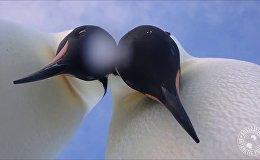 Два любопытных пингвина устроили фотоссесию в Антарктике